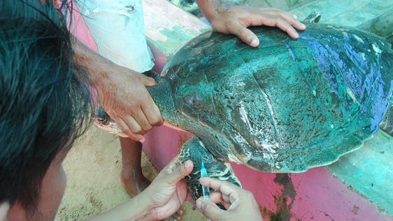 Sea Turtles Rehabilitator