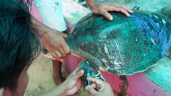 Sea Turtles Rehabilitator