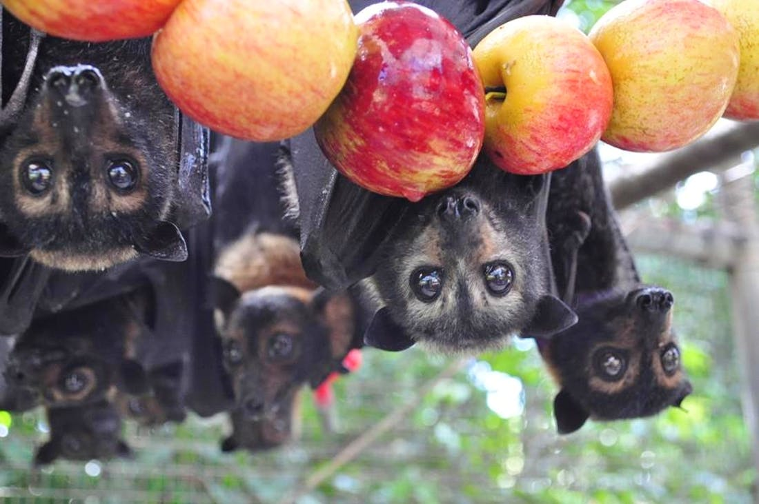 Rainforest Bat Rehabilitation