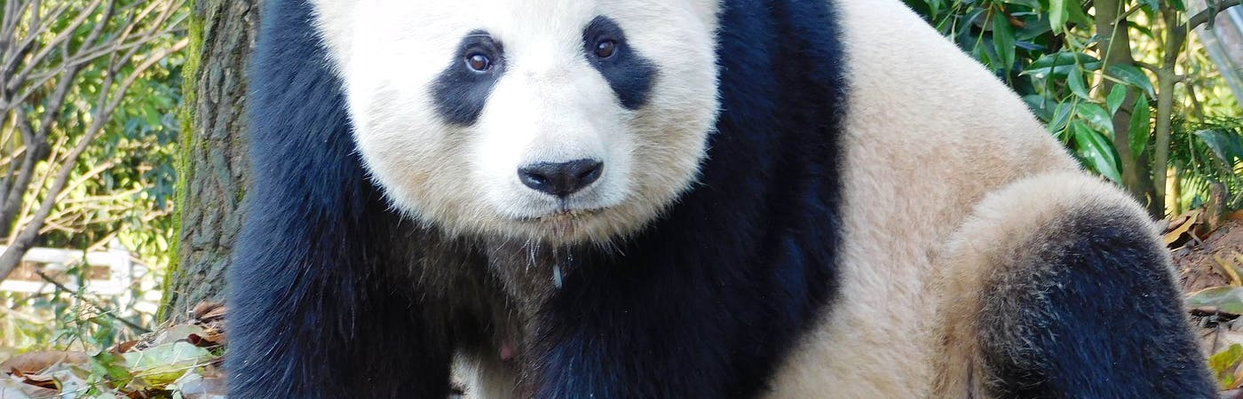 Giant Panda Conservation