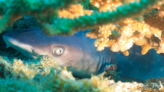 Shark Conservation Assistant Research Diver