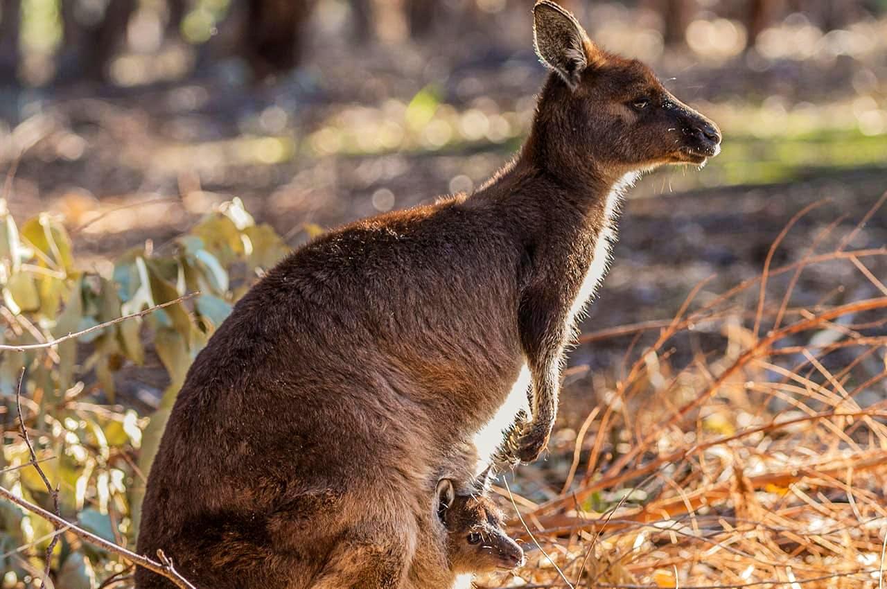 Kangaroo Field Conservation & Park Ranger