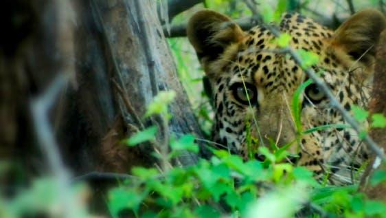 Jaguar Conservation