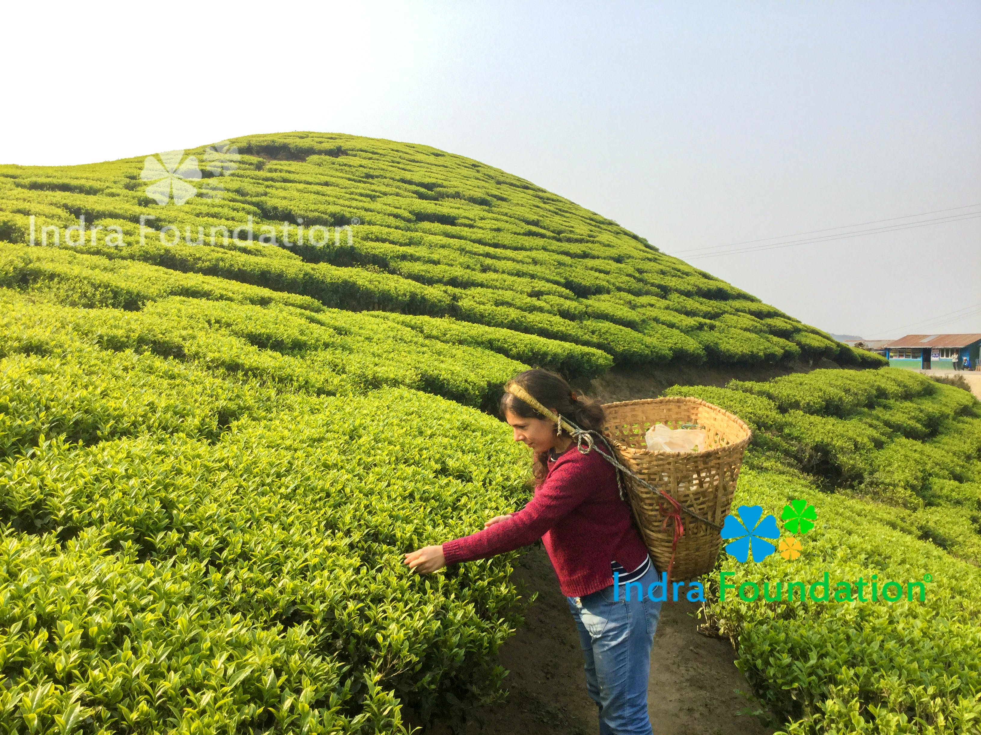 Tea Research & Organic Farming