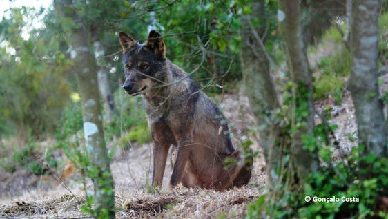 Wolf Conservation Experience