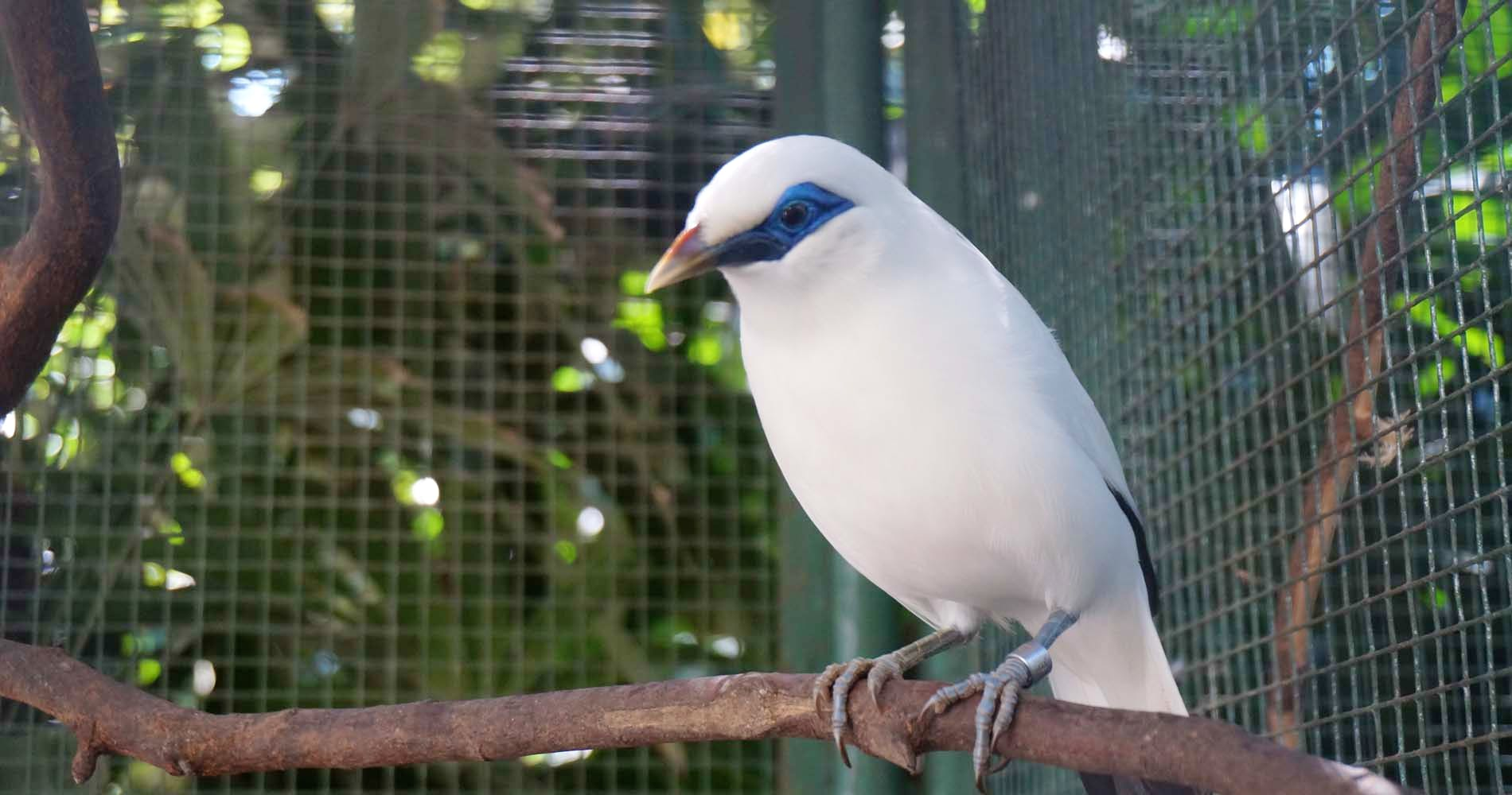 Assistant in Bali Starling Conservation Center