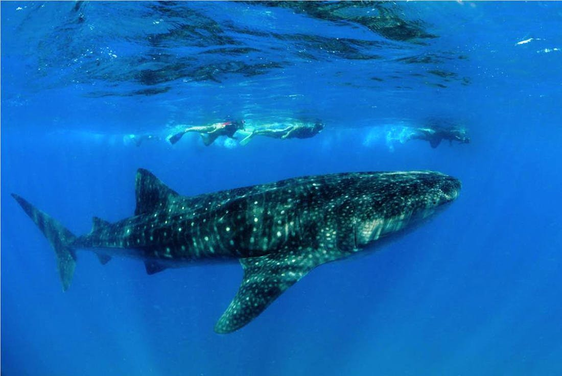 Marine Research & Whale Shark Conservation