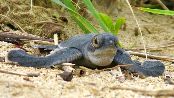 Save Turtles - South Tortuguero