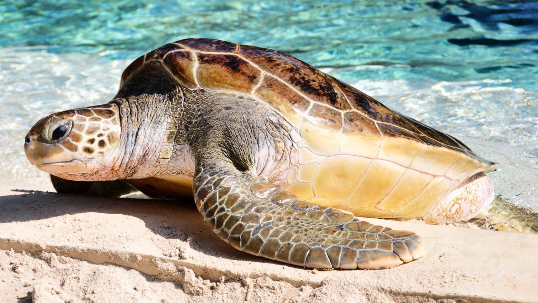 Turtle Nest Monitoring Volunteer
