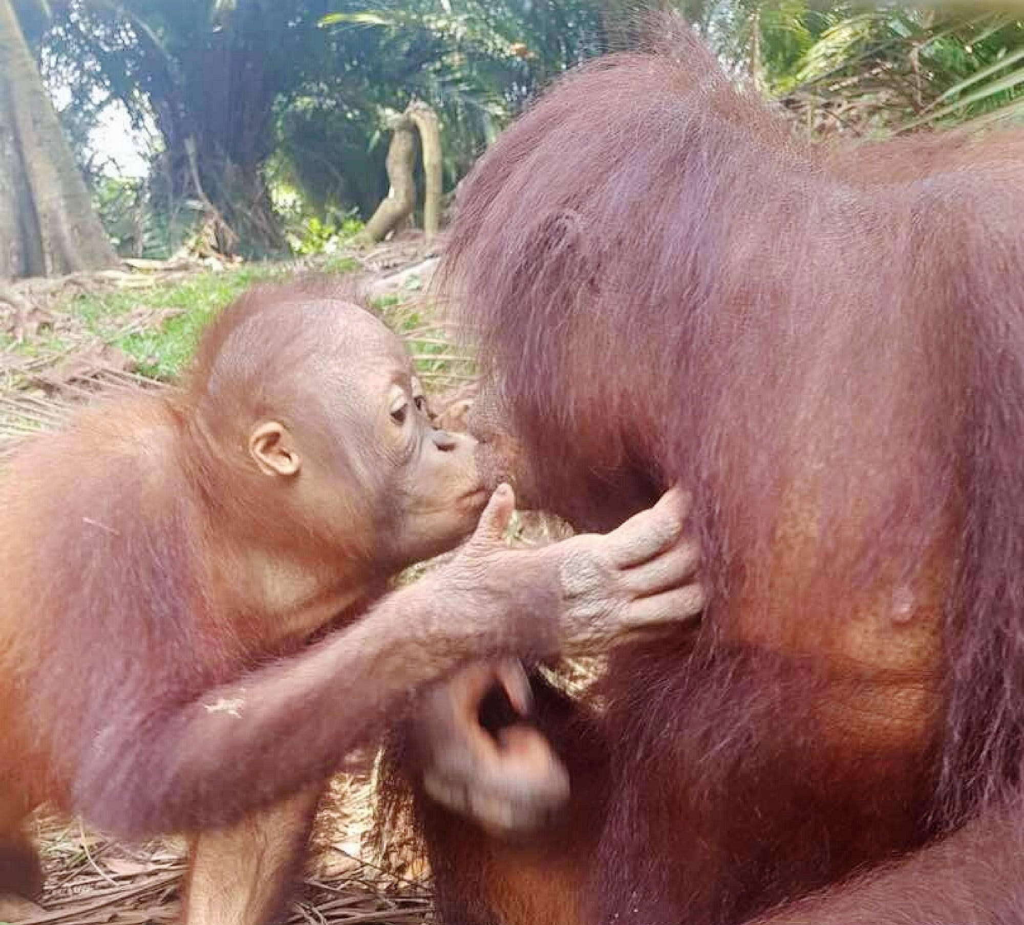 Orangutan Education and Conservation Assistant
