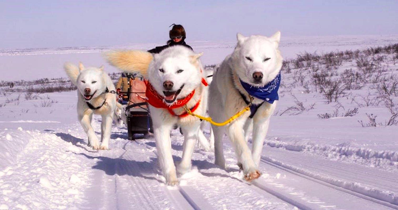 Arctic Huskies Caretaker and Dogsled Trainer